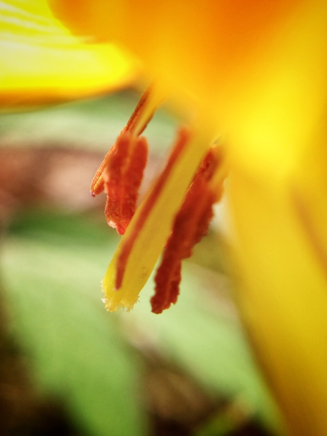 Erythronium at MC.jpg
